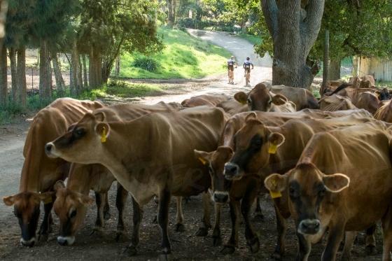Brown cows