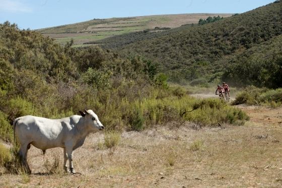Cow and mountain bikers in the background