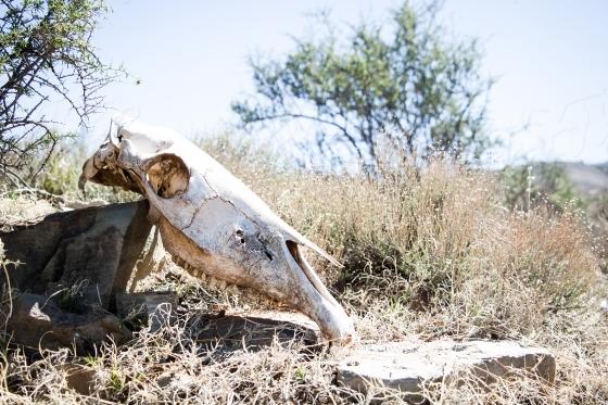 Dry skull of an animal