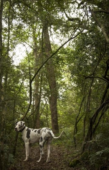 Great Dane in a Midlands forest