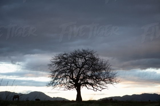 Silhouette of a single tree