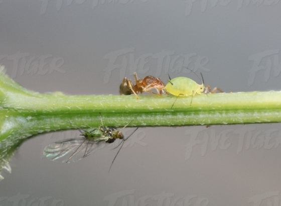 Ants with an aphid