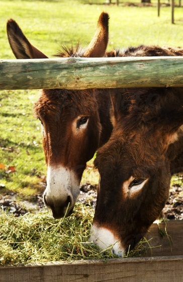 Hungry donkeys