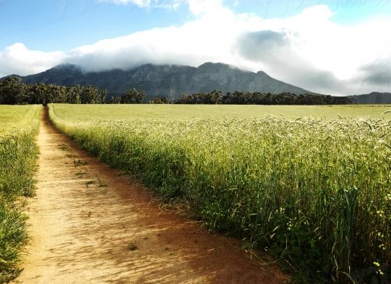Wheatfileds of the Cape