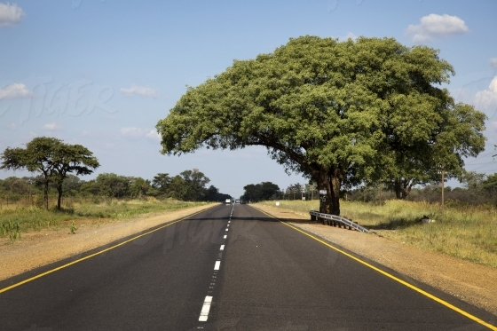 Tree arched over a tar road