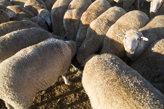 Aerial of sheep