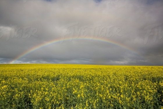 Rainbow over Canola Fields