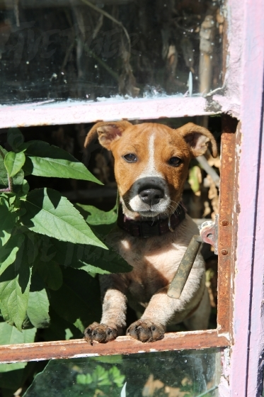 Jack russel looking through a window