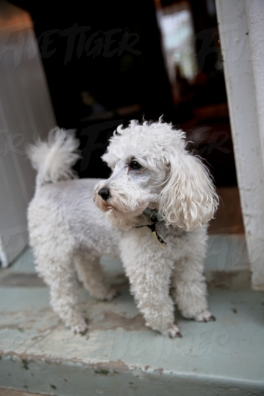 A white poodle at the front door