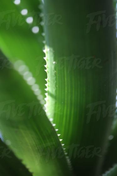 Fleshy leaves