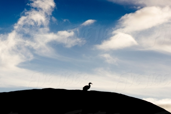 A Ducks silhouette