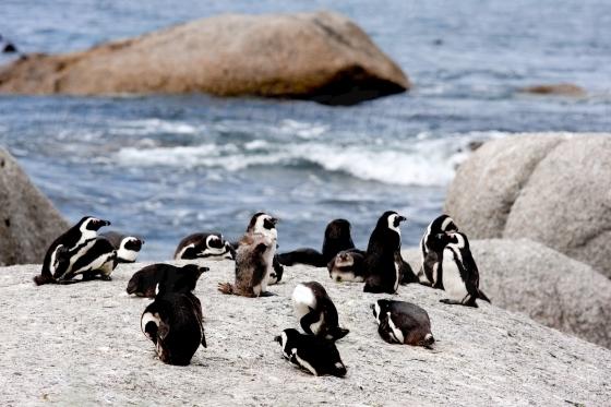 Penguins on Boulders Beach