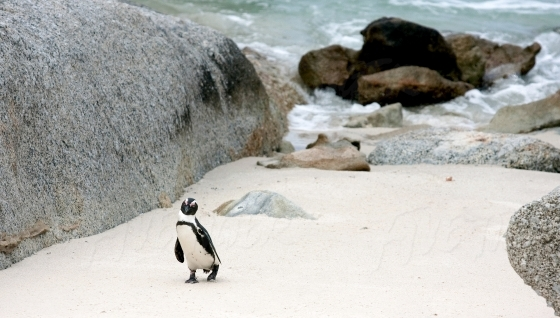 An inquisitive penguin on Boulders Beach